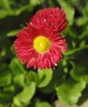 Rotes Gaensebluemchen Bluete rot gelb Bellis perennis 17
