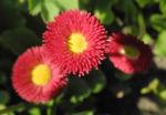 Rotes Gaensebluemchen Bluete rot gelb Bellis perennis 20