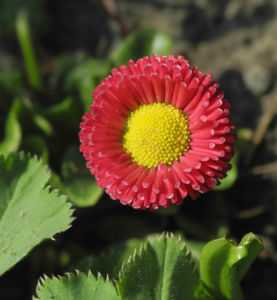 Rotes Gaensebluemchen Bluete rot gelb Bellis perennis 21