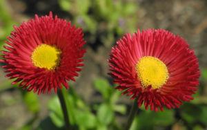 Rotes Gaensebluemchen Bluete rot gelb Bellis perennis 23