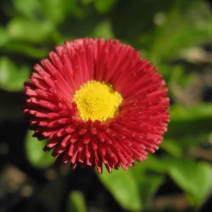 Rotes Gaensebluemchen Bluete rot gelb Bellis perennis 25