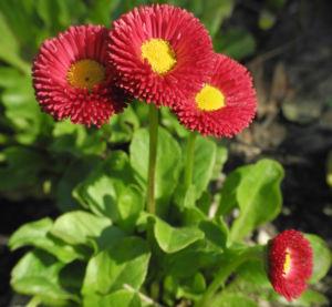 Rotes Gaensebluemchen Bluete rot gelb Bellis perennis 27