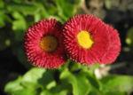 Rotes Gaensebluemchen Bluete rot gelb Bellis perennis 28