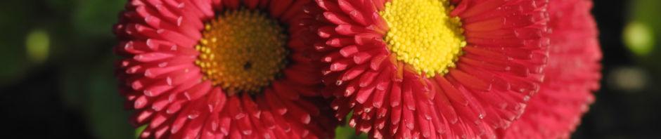 Anklicken um das ganze Bild zu sehen Rotes Gänseblümchen Blüte rot gelb Bellis perennis