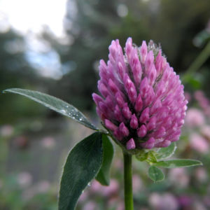 Rotklee Bluete rot Trifolium pratense 01