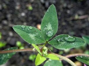Rotklee Bluete rot Trifolium pratense 04