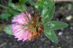 Rotklee Bluete rot Trifolium pratense 05
