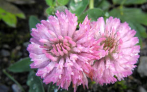 Rotklee Bluete rot Trifolium pratense 06