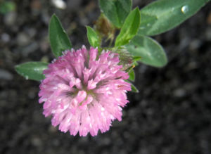Rotklee Bluete rot Trifolium pratense 07