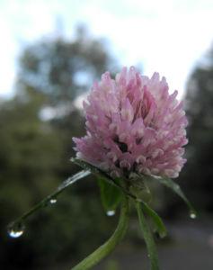 Rotklee Bluete rot Trifolium pratense 10