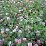Bild: Rotklee Blüte rot Trifolium pratense