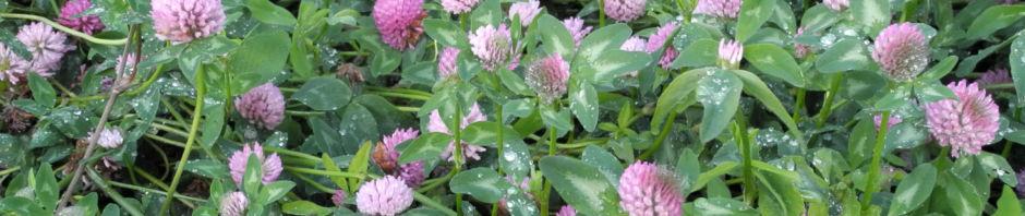 Anklicken um das ganze Bild zu sehen  Rotklee Blüte rot Trifolium pratense