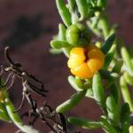 Ruby Salt Bush Blatt Frucht gelb Enchylaena tomentosa 01