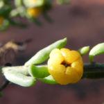 Ruby Salt Bush Blatt Frucht gelb Enchylaena tomentosa 02