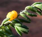 Ruby Salt Bush Blatt Frucht gelb Enchylaena tomentosa 03
