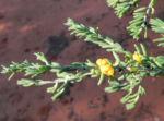 Ruby Salt Bush Blatt Frucht gelb Enchylaena tomentosa 05