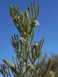 Ruby Salt Bush Blatt Knospe gruen Enchylaena tomentosa 02