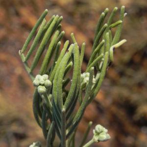 Ruby Salt Bush Blatt Knospe gruen Enchylaena tomentosa 04