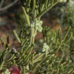 Bild: Ruby Saltbush Blatt Frucht gelb Enchylaena tomentosa