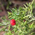 Ruby Salt Bush Frucht rot Enchylaena tomentosa 02