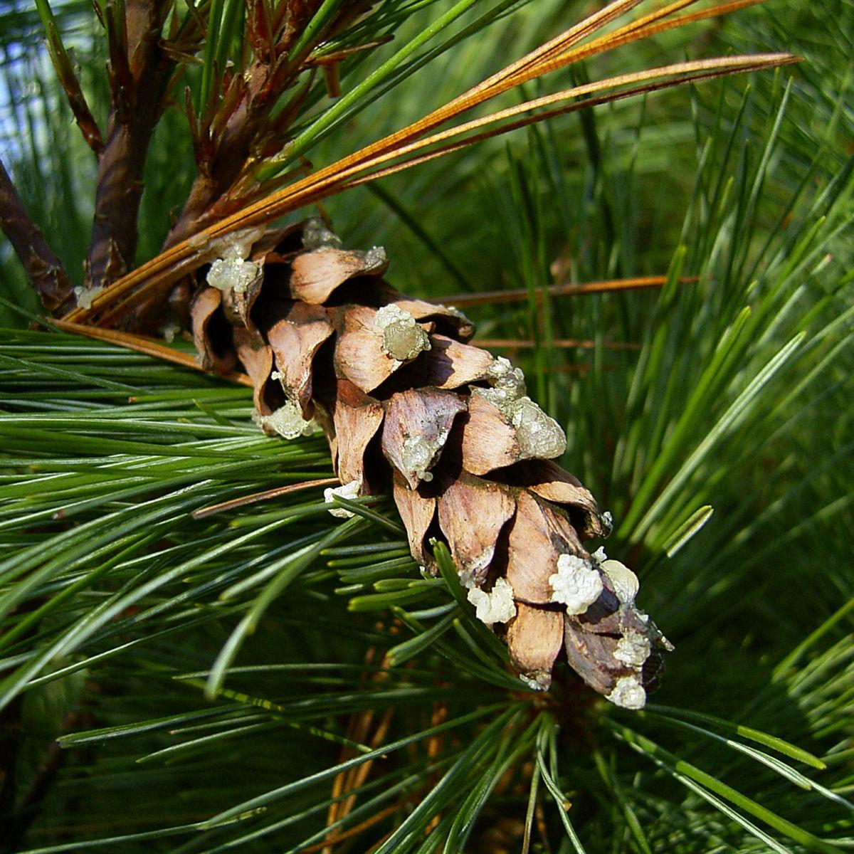Rumelische Kiefer Pinus peuce