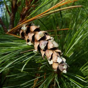 Rumelische Kiefer Pinus peuce 02