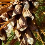 Rumelische Kiefer Pinus peuce 04