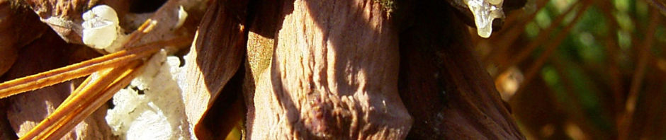 rumelische-kiefer-nadel-gruen-pinus-peuce