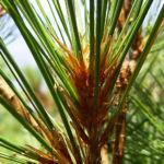 Rumelische Kiefer Pinus peuce 05