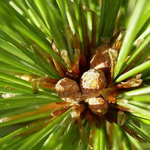 Rumelische Kiefer Pinus peuce 06