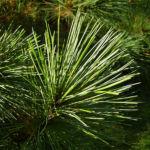 Rumelische Kiefer Pinus peuce 07