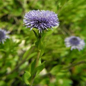 Rundblaetrige Kugelblume Bluete blau Globularia bisnagarica 02