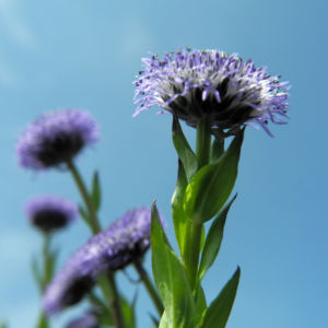 Rundblaetrige Kugelblume Bluete blau Globularia bisnagarica 03