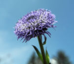 Rundblaetrige Kugelblume Bluete blau Globularia bisnagarica 06