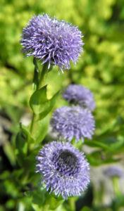 Rundblaetrige Kugelblume Bluete blau Globularia bisnagarica 09