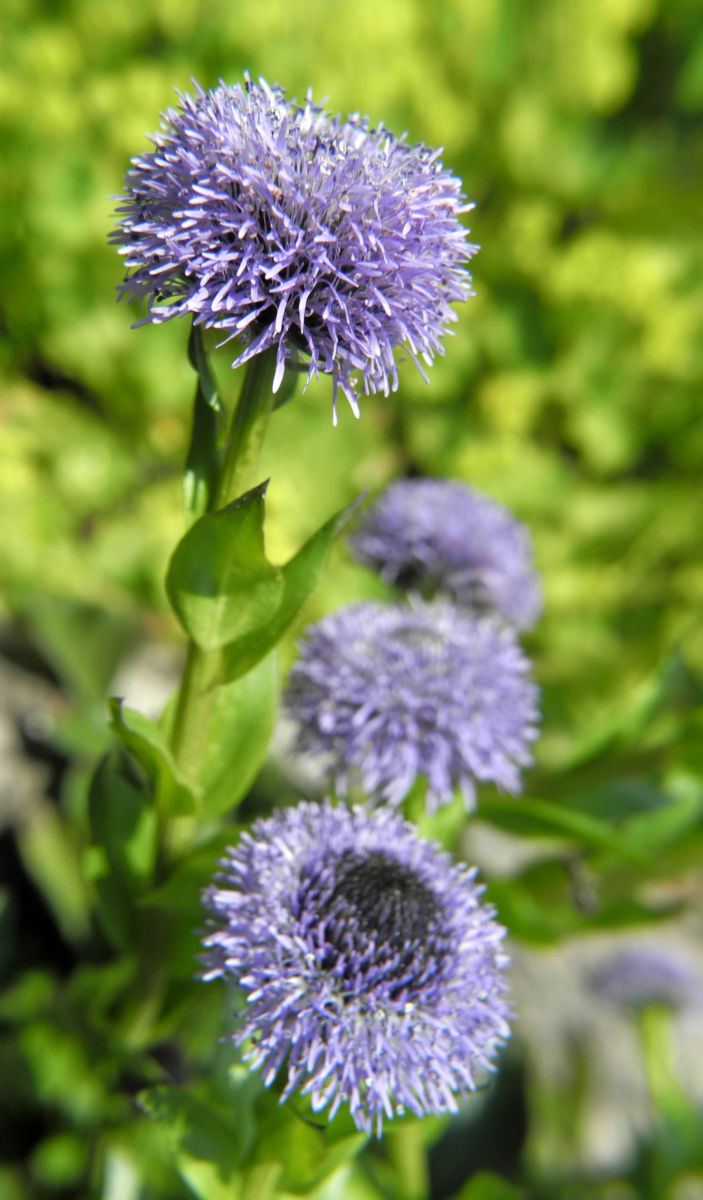 Rundblaetrige Kugelblume Bluete blau Globularia bisnagarica