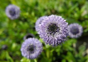 Echte Kugelblume Blüte blau Globularia bisnagarica