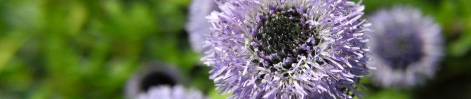 Anklicken um das ganze Bild zu sehen  Echte Kugelblume Blüte blau Globularia bisnagarica