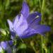 Zurück zum kompletten Bilderset Rundblättrige Glockenblume Blüte blau Campanula rotundifolia