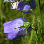 Rundblaettrige Glockenblume Campanula rotundifolia 02