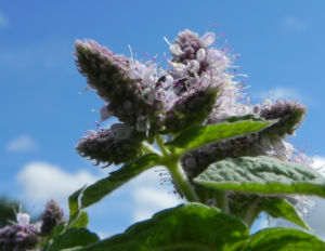 Rundblaettrige Minze Bluete weiss lila Mentha suaveolens 07