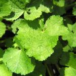 Runzelfruechtige Stockrose Blatt gruen Alcea rugosa 01