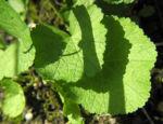 Runzelfruechtige Stockrose Blatt gruen Alcea rugosa 03