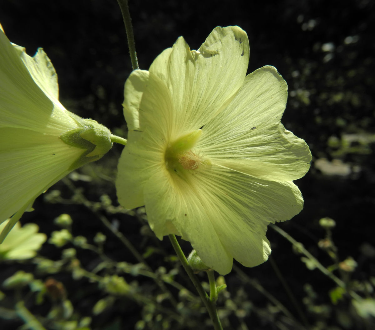 Runzelfruechtige Stockrose Bluete hell gelb Alcea rugosa