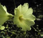 Runzelfruechtige Stockrose Bluete hell gelb Alcea rugosa 05