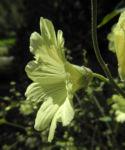 Runzelfruechtige Stockrose Bluete hell gelb Alcea rugosa 06