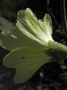Runzelfruechtige Stockrose Bluete hell gelb Alcea rugosa 21