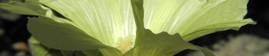 gelbe-stockrose-alcea-rugosa