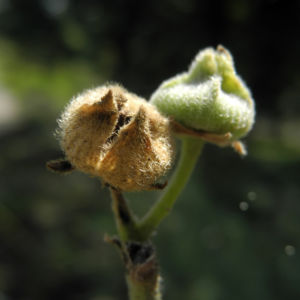 Runzelfruechtige Stockrose Samenkapsel Alcea rugosa 05