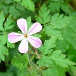 Ruprechts Storchschnabel Geranium robertianum 01